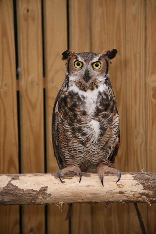 WRi Great Horned Owl